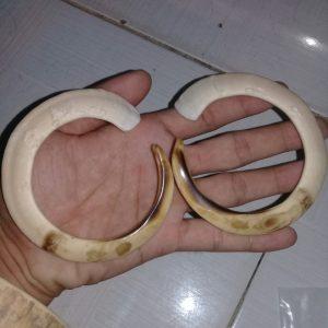 Răng nanh heo rừng cong tròn