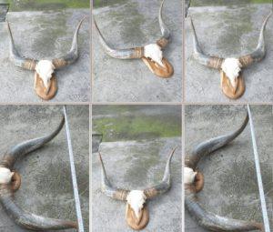Đầu bò treo tường